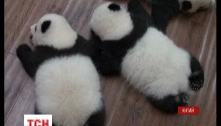 Двенадцать пандят впервые появились на публике в китайской провинции Сычуань