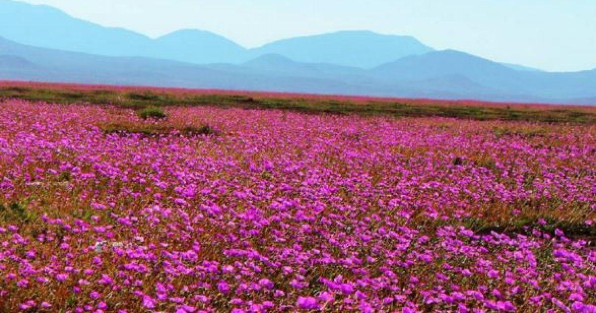 Природні аномалії: найсухіша пустеля світу вкрилася килимом з квітів (фото)