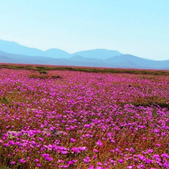 Рожева пустеля Атакама