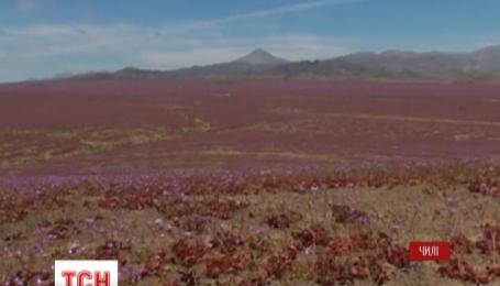 Самая засушливая пустыня на Земле покрылась цветами