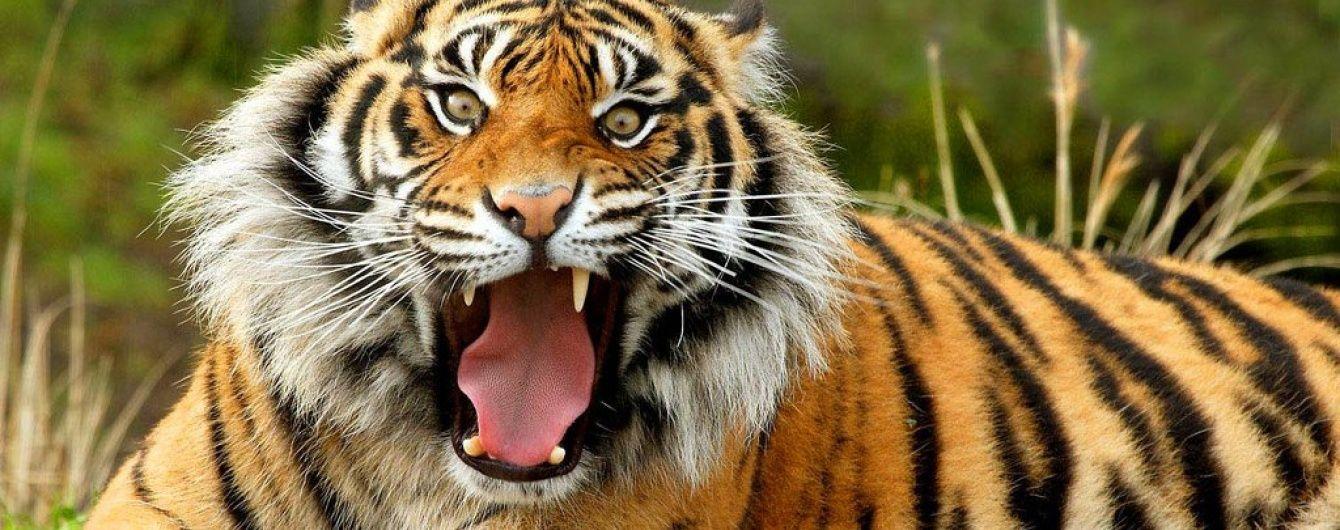 По улицах российского города разгуливает тигр