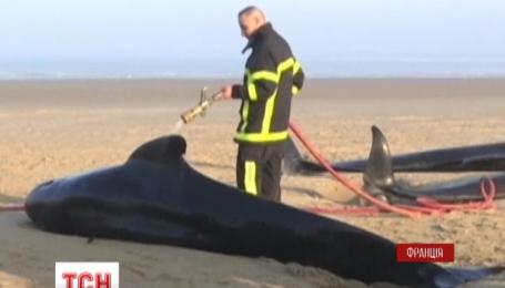 Десять китов выбросился на берег французского города Кале