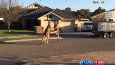 Швейцарские инженеры разработали устройство, которое отслеживает кенгуру на дороге