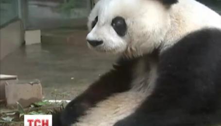 Китайські вчені взялися розшифровувати мову спілкування панд