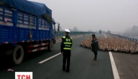 У Китаї на одній зі швидкісних магістралей гуси заблокували рух транспорту