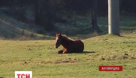 На Житомирщине неизвестные расстреляли на пастбище лошадей