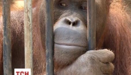 Тайські чиновники врятували 14 рідкісних орангутангів від контрабандистів