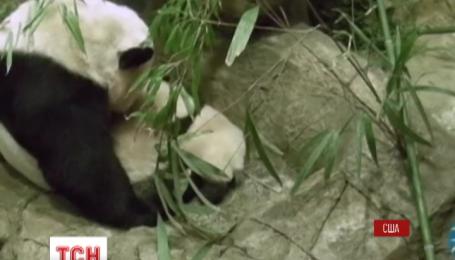 В американському зоопарку маленька панденя вперше вийшло на публіку