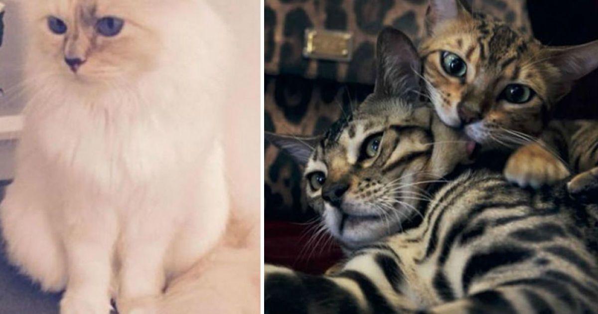 Битва котиков: кошка Лагерфельда vs кошки Стефано Габбана