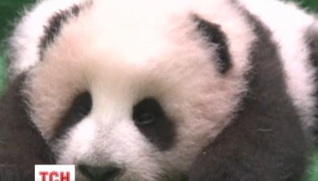 Детеныш гигантской панды прямо во время знакомства с публикой
