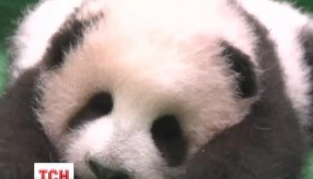 Детеныш гигантской панды уснул прямо во время знакомства с публикой