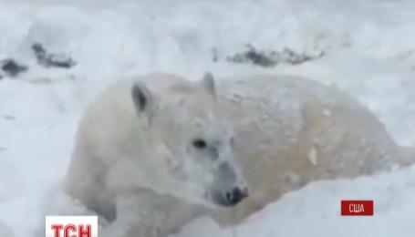 Бешеную радость первый снег вызвал в полярного медведя из США