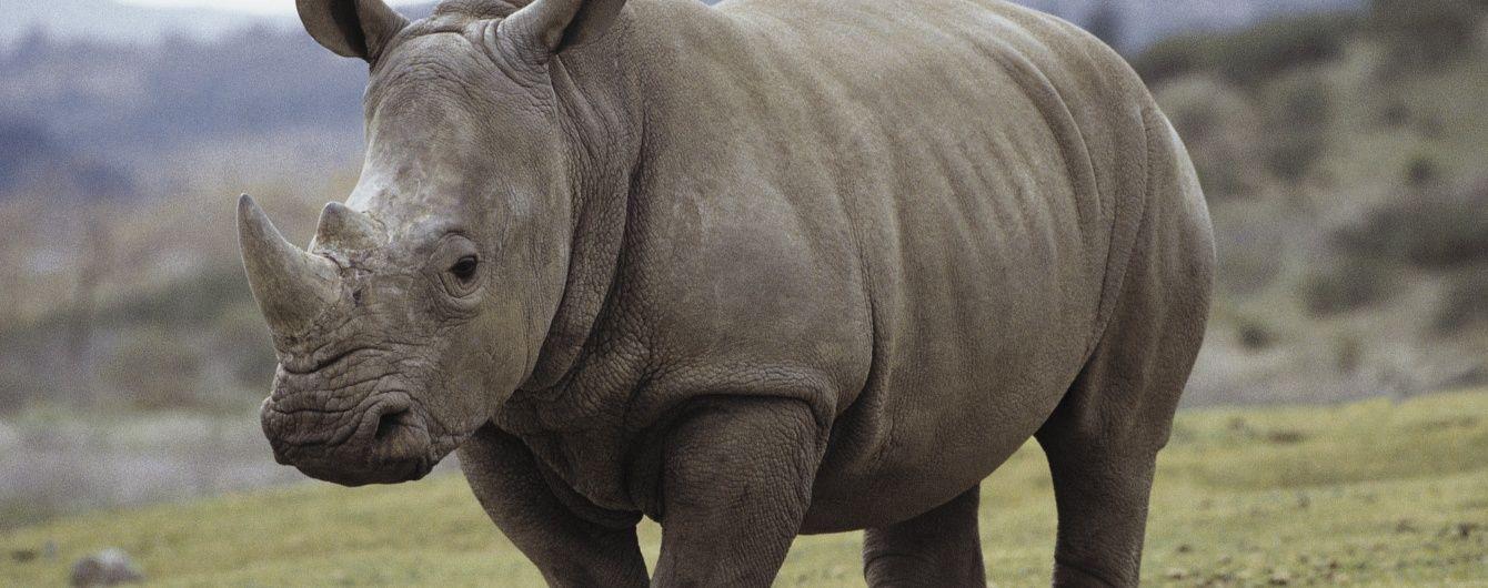 Щоб відновити унікальних білих носорогів, потрібно 9 млн доларів - вчені