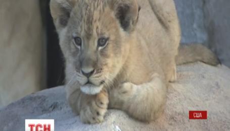 В американському зоопарку одразу двоє левенят вийшли у відкритий вольєр