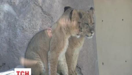 В зоопарке США сразу двое львят вышли в открытый вольер
