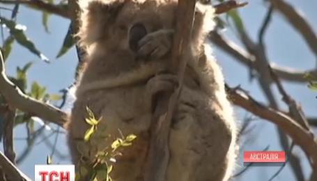 В австралійському штаті Вікторія влаштували масову міграцію коал
