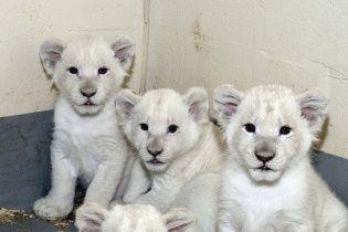 Юзерів розчулили перші позіхання новонароджених білих левенят на камеру