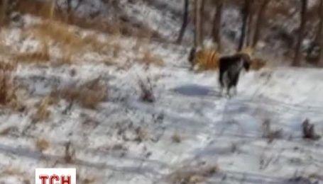 Тигр подружился с козлом, которого привезли хищнику на обед