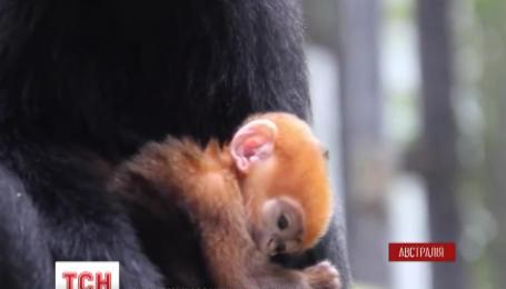 В зоопарке Сиднея родилась редкая рыжая обезьянка