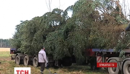 Завтра главная новогодняя елка Украины должена прибыть в Киев