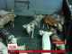 Тисячі свиней голодують на Тернопільщині