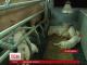 На Тернопільщині голодують тисячі свиней