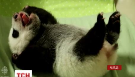 Видео о двух пандятах из зоопарка Торонто набрало миллион просмотров в течение дня