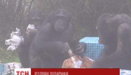 Шимпанзе зоопарка на востоке Великобритании первыми почувствовали дыхание Рождества