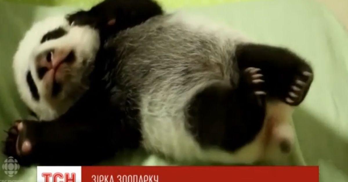 Юзери фанатіють від зворушливого відео з новонародженими пандами
