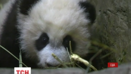 Маленьке панденя Бей-Бей вперше вийшов на публіку у зоопарку Вашингтона
