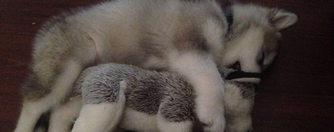 Юзерів розчулили фото величезного пса, який опікується іграшковим вовком