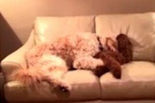 У мережі з'явилося зворушливе відео із двома псами, що обійнялися після нічного жахіття