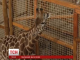 Розлучена пара жирафів знову зустрілася в Києві