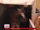 Закохані жирафи знову зустрілися в Києві