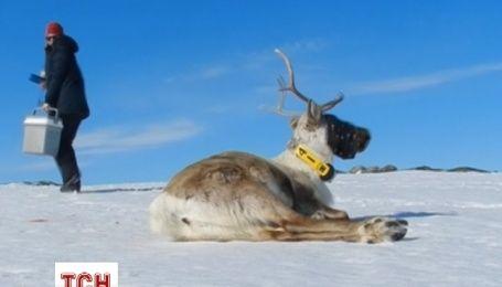 Норвежці чотири роки спостерігали за життям оленів Санти онлайн