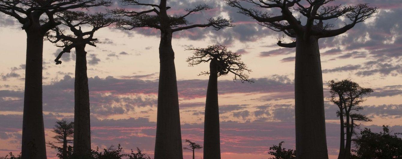 В Африке таинственно массово погибают баобабы
