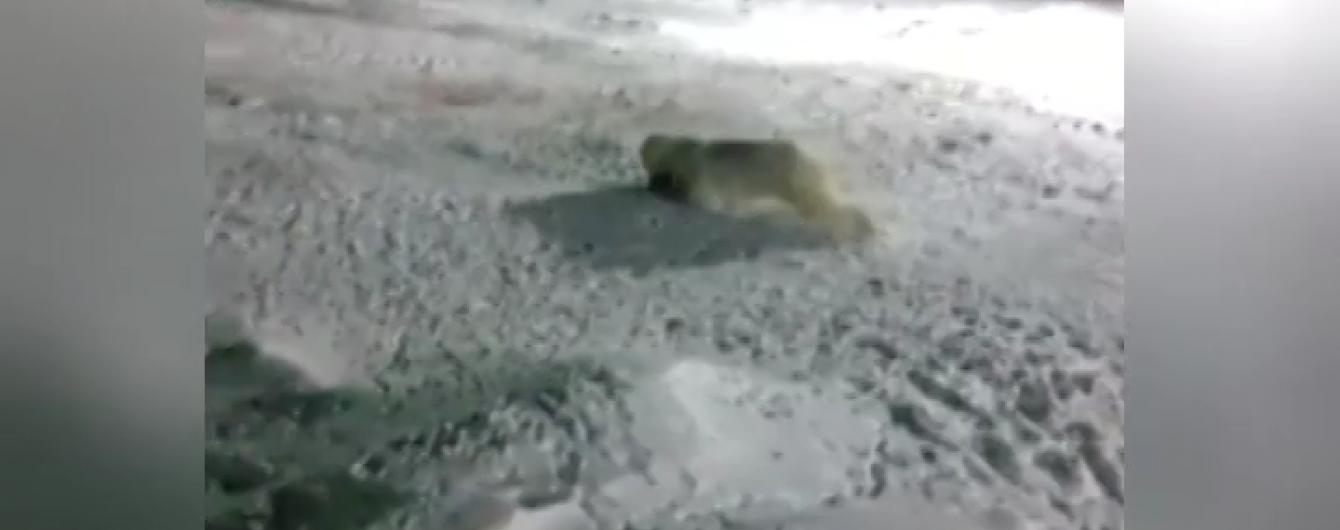 Мережу шокували кадри жорстокого вбивства ведмедя на російському будівництві в Арктиці