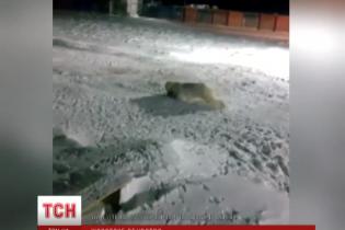 Російський зоозахисник виправдовує підрив білої ведмедиці самозахистом кухаря