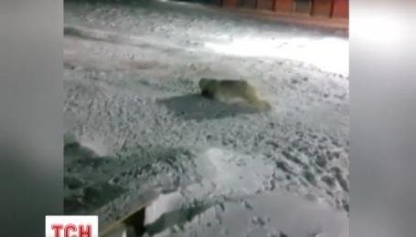 На строительстве российского Минобороны в Арктике жестоко убили белого медведя