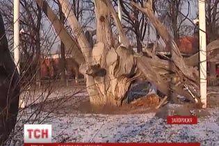 У Запоріжжі помирає 700-річний дуб, під яким козаки писали легендарного листа султану