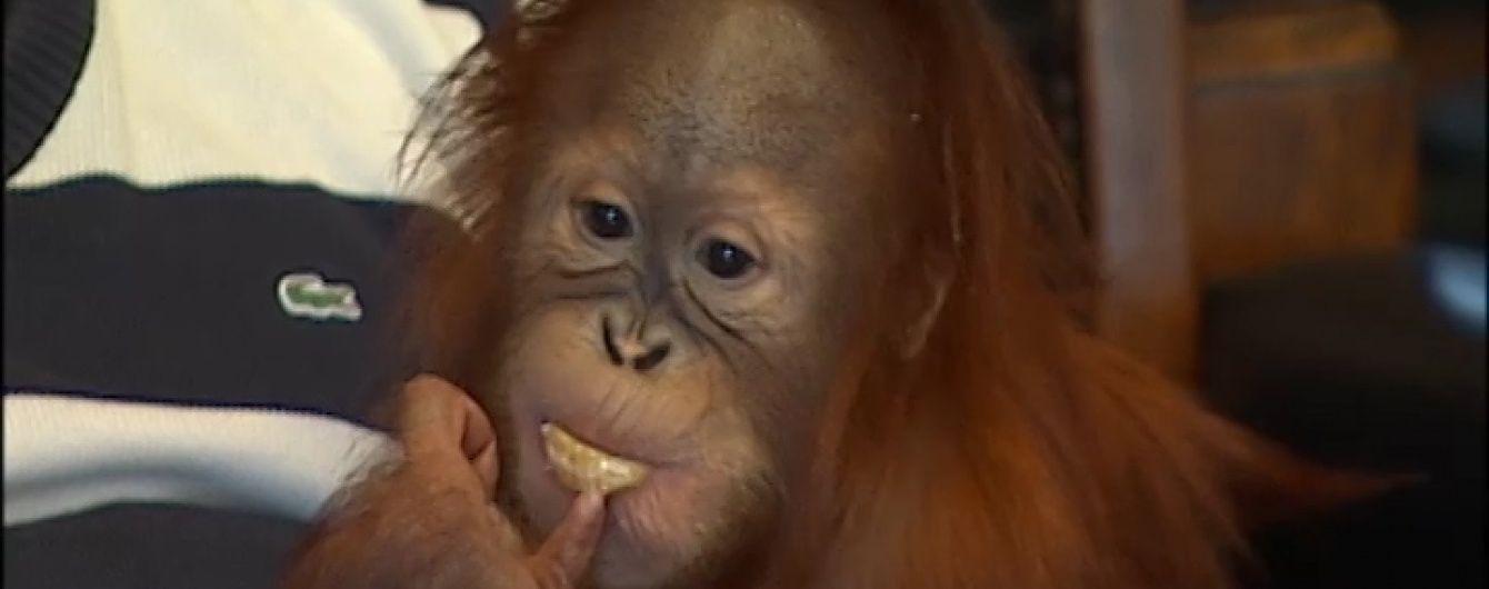 У столичній квартирі господарі виховують півторарічного орангутана