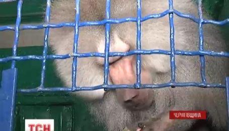 Праздничное меню для обезьянок приготовили в Менском зоопарке на Черниговщине