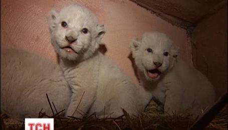 В частном зоопарке под Киевом родились белые львята