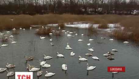 На Буковину злетілися зимувати лебеді-шипуни
