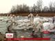 Більше сотні лебедів-шипунів з різних країн злетілися зимувати на Буковину