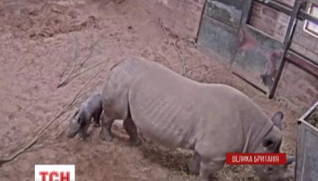 Рождение маленького носорога сняли в британском зоопарке