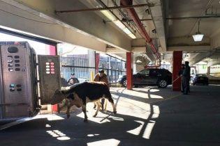У Нью-Йорку корова втекла із м'ясного магазину (відео)