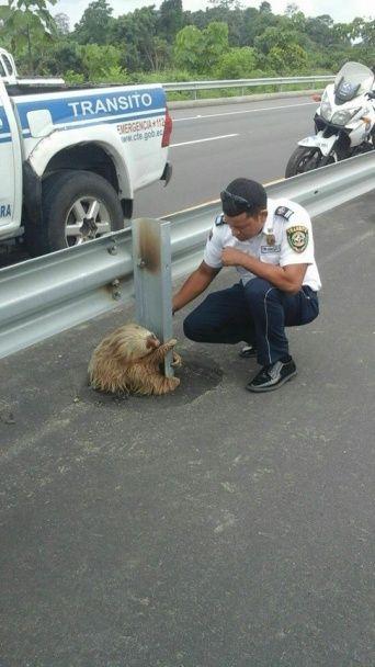 Поліція Еквадору врятувала маленького лінивця на жвавому шосе