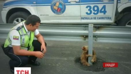 Сеть тронули фото эквадорского ленивца, застрявшего посреди оживленной трассы