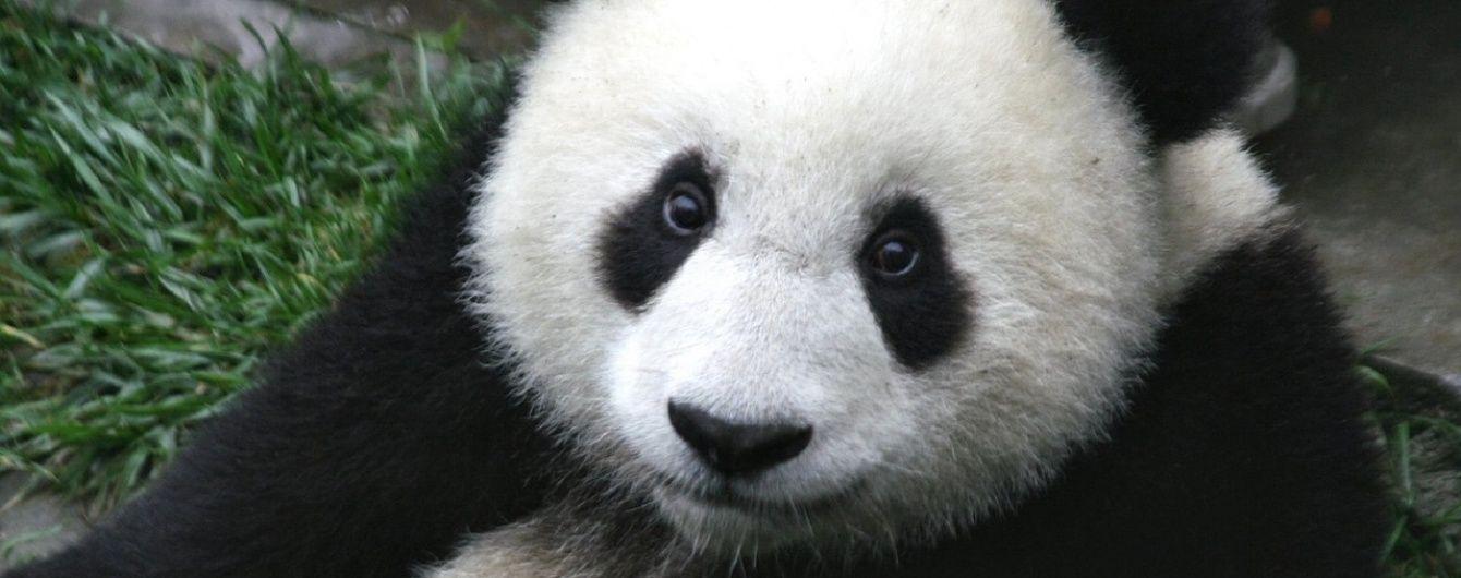 Користувачів Мережі насмішив малюк панди, який намагається викрасти їжу